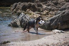 o cão treinou para o salvamento ao treinar no mar Foto de Stock Royalty Free