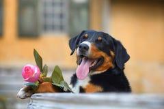 O cão tricolor de Sennenhund Appenzeller com aumentou na boca Imagens de Stock