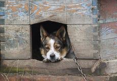 o cão triste olha para fora de sua casa Fotografia de Stock Royalty Free