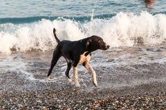 O cão vai à costa do mar e agita fora a água imagens de stock