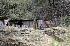 O cão velho mantém o relógio em um ajuste rural imagens de stock royalty free
