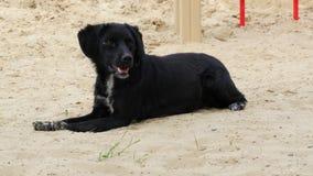 O cão velho preto encontra-se na areia no verão quente imagens de stock