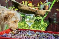 O cão vermelho desgrenhado come uvas de uma caixa em que há um vidro inacabado do vinho Imagens de Stock Royalty Free
