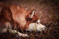 O cão vermelho do cão de puxar trenós siberian coloca no prado da mola Imagens de Stock