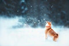O cão vermelho do siba corre na inclinação A floresta coberto de neve do inverno ensolarado está jogando a neve no inverno foto de stock