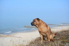 O cão vermelho Shar Pei senta-se na praia imagens de stock royalty free