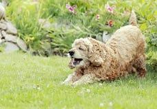 O cão vermelho, Spaniel de Cocker inglês joga em um gard Fotos de Stock