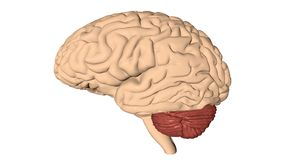 O cérebro humano 3D rende Fotografia de Stock