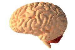 O cérebro humano 3D rende Foto de Stock
