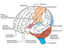 O cérebro seciona o diagrama Imagens de Stock Royalty Free
