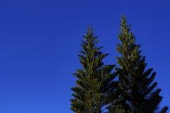 O céu azul e o pinho Imagens de Stock