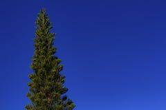 O céu azul e o pinho Fotos de Stock Royalty Free