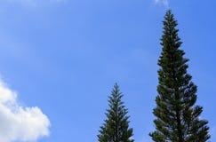 O céu azul e o pinho Fotos de Stock