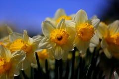 O céu azul e os narcisos amarelos fecham-se acima Fotografia de Stock Royalty Free
