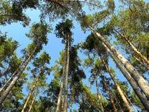 O céu em uma floresta do pinho fotografia de stock royalty free