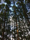 O céu foi coberto por árvores densas e eretas fotos de stock royalty free