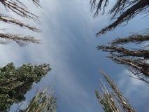 O céu sobre os álamos Imagem de Stock Royalty Free