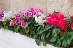 O cíclame roxo e branco floresce em um vaso da rua foto de stock royalty free