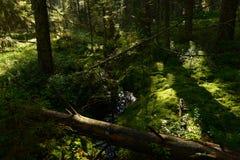 O córrego da floresta na floresta spruce no outono encheu-se com a água da chuva Imagens de Stock