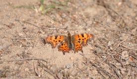 O c-álbum do Polygonia da borboleta aquece o corpo fotografia de stock