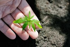 O c?nhamo brota o crescimento Os fazendeiros est?o plantando a pl?ntula da marijuana Close up da m?o com pl?ntula do cannabis for imagem de stock royalty free