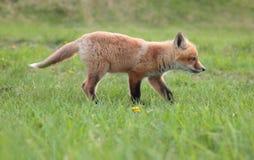 O caçador Imagem de Stock Royalty Free