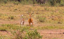 O caçador o mais rápido do savana Masai Mara imagem de stock