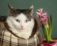 O caat Siberian catbed dentro com a flor do rosa do jacinto foto de stock