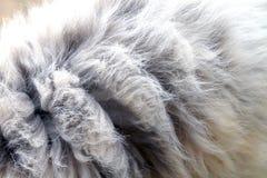 O cabelo a pele do cão, pele do cão sujo, pele suja do cabelo de lãs do cão, Texture o emaranhado sujo do fim da pele de lãs acim imagens de stock