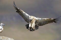 O cabo Griffon ou abutre do cabo Fotos de Stock