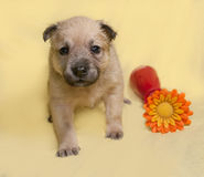 O cachorrinho amarelo pequeno com flor artificial senta-se no amarelo Imagem de Stock