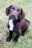 O cachorrinho bonito de Brown sentou-se na grama que olha acima Fotos de Stock