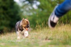 O cachorrinho bonito do elo segue um homem running imagens de stock royalty free