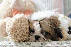 O cachorrinho bonito do tzu do shih está agachando-se imagem de stock