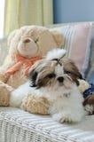 O cachorrinho bonito do tzu do shih está agachando-se foto de stock