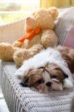 O cachorrinho bonito do tzu do shih está agachando-se foto de stock royalty free