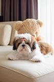 O cachorrinho bonito do tzu do shih está agachando-se fotografia de stock