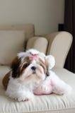O cachorrinho bonito do tzu do shih está agachando-se imagem de stock royalty free