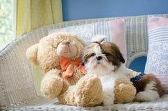 O cachorrinho bonito do tzu do shih está sentando-se imagens de stock