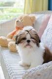 O cachorrinho bonito do tzu do shih está sentando-se imagem de stock royalty free