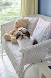 O cachorrinho bonito do tzu do shih está sentando-se imagem de stock