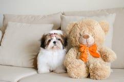 O cachorrinho bonito do tzu do shih está sentando-se foto de stock