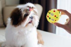 O cachorrinho bonito do tzu do shih está sentando-se fotografia de stock royalty free