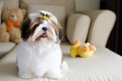 O cachorrinho bonito do tzu do shih está sentando-se imagens de stock royalty free
