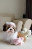 O cachorrinho bonito do tzu do shih está sentando-se fotos de stock