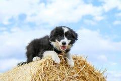 O cachorrinho bonito está encontrando-se no pacote de feno Imagens de Stock Royalty Free