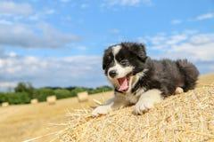 O cachorrinho bonito está encontrando-se no pacote de feno Fotos de Stock Royalty Free