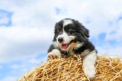 O cachorrinho bonito está encontrando-se no pacote de feno Imagem de Stock Royalty Free