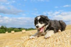 O cachorrinho bonito está encontrando-se no pacote de feno Imagens de Stock