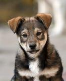 O cachorrinho bonito olha o direito triste Foto de Stock